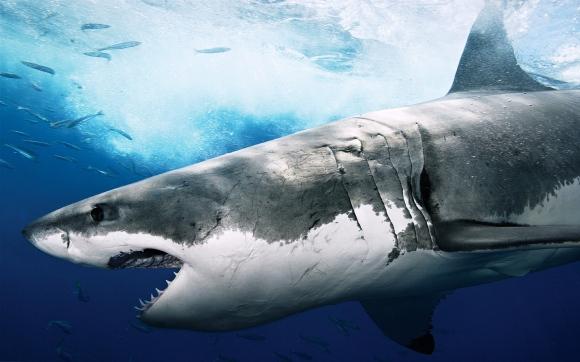 huge-shark